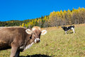 Cows in autumn val di scalve alps mountains italy Royalty Free Stock Photos