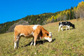 Cows in autumn val di scalve alps mountains italy Royalty Free Stock Photo