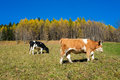 Cows in autumn val di scalve alps mountains italy Stock Photo