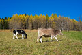 Cows in autumn val di scalve alps mountains italy Stock Photography