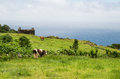 Cows on azores portugal landscape with Stock Photos