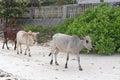 Cows at beach Royalty Free Stock Photo