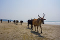 Cows on the beach. Royalty Free Stock Photo