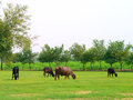 Cows and Buffalos in Fields Stock Image