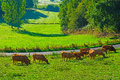 Cows and bulls grazing on alpine meadows in france Stock Images