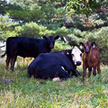 Cows and calf in pasture Royalty Free Stock Images