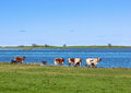 Cows with calves on the beach Royalty Free Stock Photo