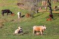 Cows and calves in a field Royalty Free Stock Photo