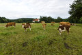 Cows and calves in pasture. Royalty Free Stock Photo
