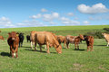 Cows in Cornwall Stock Photography