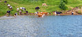 Cows cow on green meadow and on a watering place Royalty Free Stock Photo