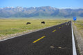 Cows crossing the straight road located in salimu lake xinjiang china Stock Image