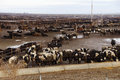 Cows Crowded In A Muddy Feedlot