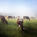 Cows dairy in paddock new zealand Royalty Free Stock Images