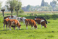 Cows in Dutch country landscape in spring Royalty Free Stock Photo