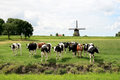 Cows in dutch landscapes with mill Royalty Free Stock Photography