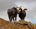 Cows in easter island two standing on top of a hill Royalty Free Stock Images