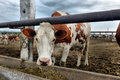 Cows eat feed Royalty Free Stock Photo