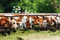 The cows eat silage feeders before evening milking Royalty Free Stock Photo