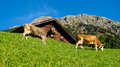 Cows eating in front of a barn alpine scene
