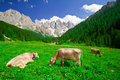Cows eating grass in a mountain field Stock Photography