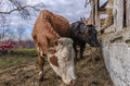 Cows on ecological farm Royalty Free Stock Photo
