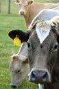 Cows on farm happy grasing farmland Stock Images