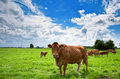 Cows on farmland Royalty Free Stock Photo
