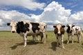 Cows on farmland looking at camera Royalty Free Stock Photography