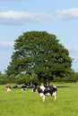Cows in a farmland and under a tree Stock Photography