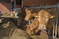 Cows feed in a stable brown white cow the netherlands Stock Photos