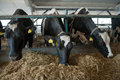 Cows feeding in large cowshed Royalty Free Stock Images