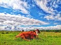 Cows in the field with beautiful sky Royalty Free Stock Photo