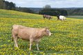Cows in a field of blooming dandelions Royalty Free Stock Photo