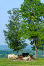 Cows in field cattle pasture resting shade of trees Royalty Free Stock Photo