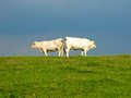 Cows in field cheek to cheek turn the other cheek two as they stand back back a green silhouetted against a blue sky funny Stock Images