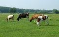 Cows in a field grazing fresh pastures Royalty Free Stock Photography
