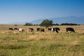 Cows in the field image showing a large Royalty Free Stock Photography