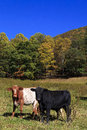 Cows in a field mountain the fall Stock Image