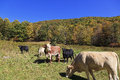 Cows in a field mountain the fall Royalty Free Stock Images