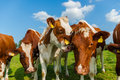 Summery funny cows in field with tongue hanging out Royalty Free Stock Photo