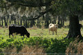 Cows in FL pasture Royalty Free Stock Photo