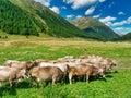 Livestock, cow, pasture, animal, grass, nature, farm, outdoor, summer, horizontal, ranch, curiosity, looking at camera, mammal, Royalty Free Stock Photo