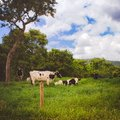 Cows in a fresh grassy field on a cloudy day Royalty Free Stock Photo