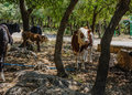 Cows gather in the shadow herd of found shelter shade of trees a grove on a hot day Stock Photos