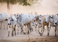 Cows going home in Bagan, Myanmar Royalty Free Stock Photo