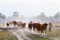 Cows going home in the dust at end of day vietnam and cambodia border mekong delta an giang province vietnam Stock Photos