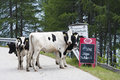 Cows at goldeck panorama road in austria the end of the an altitude of m stockenboi are showing their own products touted on a Royalty Free Stock Photos