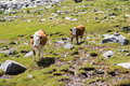 Cows at grasland photo of grazing alpine meadows Royalty Free Stock Photo