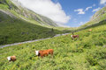 Cows at grasland photo of grazing alpine meadows Royalty Free Stock Image